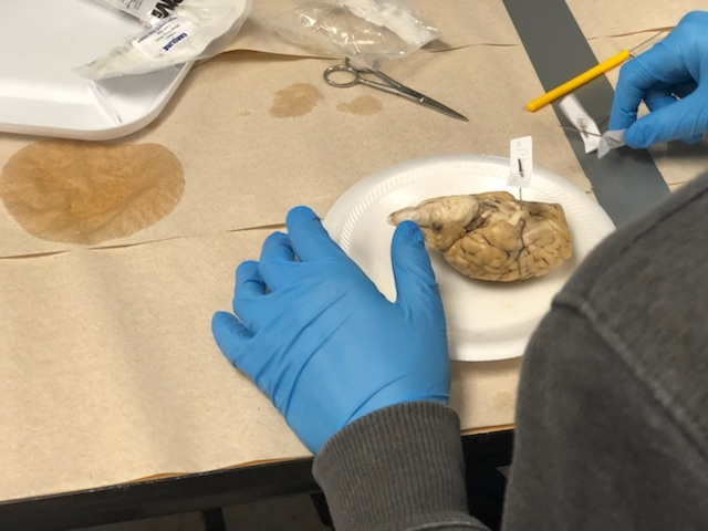 NMS Students Study Sheep Brains